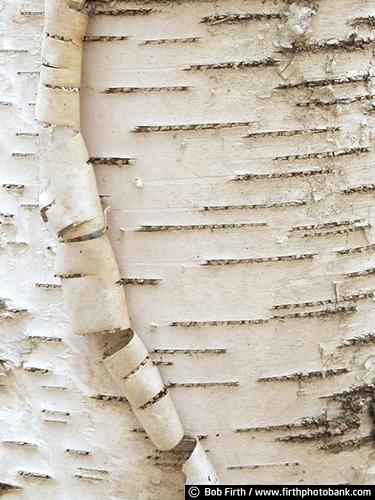 Minnesota Landscape Arboretum;University of Minnesota Landscape Arboretum;arboretum;Chaska MN;Minnesota;MN;Twin Cities Metro Area;U of M Landscape Arboretum;birch trees;birches;close up of tree bark;tree bark detail;abstract;peeling bark;birch bark;close up photo;detail photo;bark detail