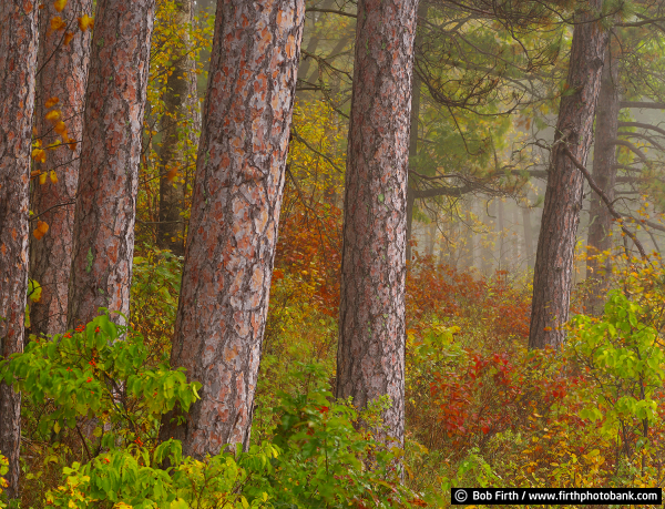 Pines of Itasca State Park