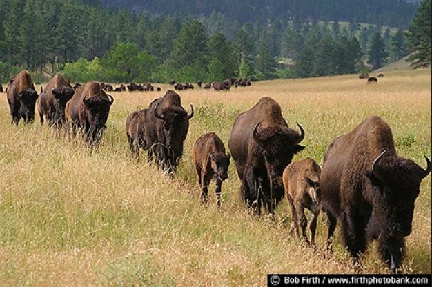Buffalo Lineup 7219